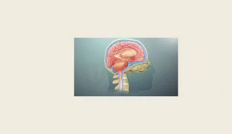 The Forebrain Of The CNS