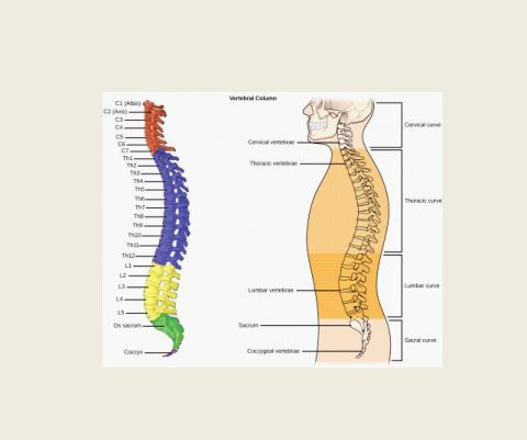 Parts Of The Spinal Cord