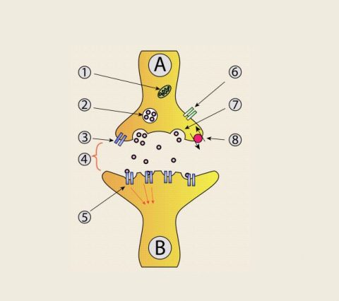 The Synapse and how it helps in Cognitive functions